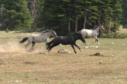 Teton chases
