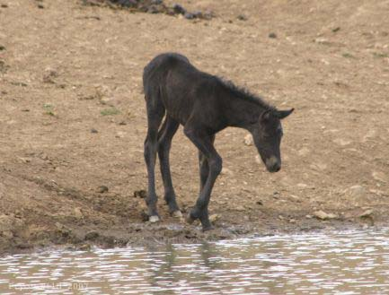 Aztec filly