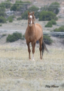 Hidaldo, 2007 son of Durango and Buffalo Girl now heads up a band with seven mares and their offspring.