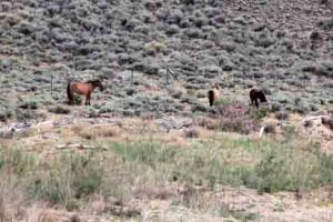 On June 12, Hickok, Seneca, and Hightail were grazing on the south side of Crooked Creek Bay. Jesse James has not been with the group for a few days.