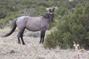 Strawberry is a grulla roan with a large star and small snip.