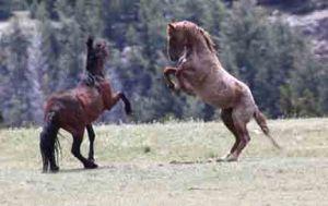 Tecumseh and Gringo