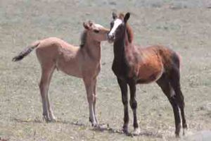 Duke's 2013 foals, Naolin (son of Graciana) and Noble (daughter of Helenium)