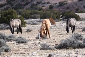 Blizzard grazes with mares Cascade and Bakken.