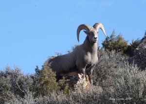 Big Horn Ram