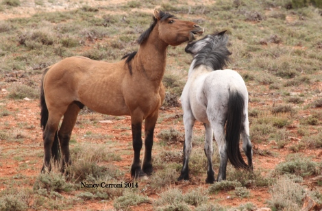Cappuccino and Mica, Cloud and Feldspar's 2-year old colt.